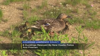 8 ducklings rescued from storm sewer grate in New Castle