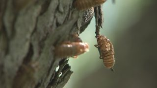 Cicada brood starts emerging in western Pennsylvania