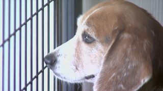Pa. college researching if dogs can sniff out cancer