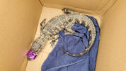 Analligator was found in Pittsburgh's Carrick neighborhood on Saturday. This is the third alligator to be spotted in Pittsburgh in less than a month.