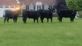 Herd of loose cows destroying properties in this community
