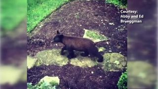 RAW VIDEO: Bear in Jefferson Hills
