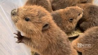 American beavers welcome new kits