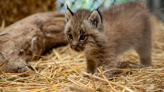 Pittsburgh Zoo has four new lynx kittens