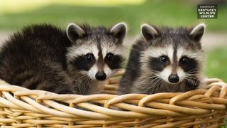 Raccoons rescued from airport fountain