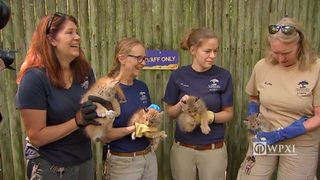 Lynx kittens get first exam at Pittsburgh zoo