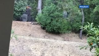 Woman catches standoff between coyotes and mountain lion
