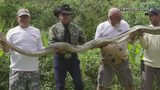 Giant python captured