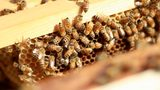 Trump administration cuts honeybee research