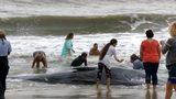 Beached whale dies