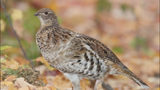 Pennsylvania's state bird is disappearing, report says